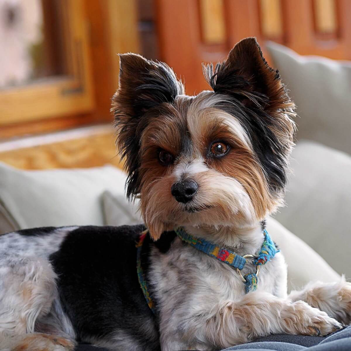 Biewer Terrier best dogs for apartments