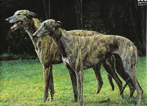 greyhound-brindle-best-dogs-for-apartment-living