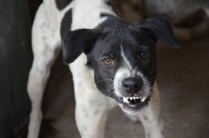 Growling, Snarling Black and White Dog