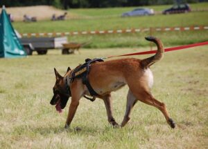 Working Dog Sniffing