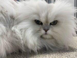 Fluffy, Large White Cat