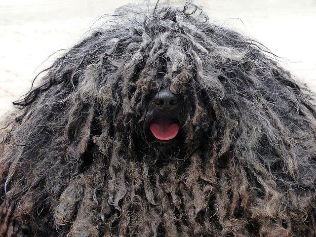 Dog Who Needs a Haircut
