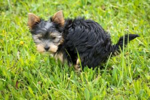 Tiny Black and Brown Dog Pooping on Grass