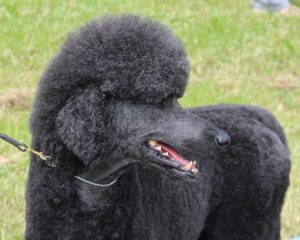 Black Poodle on Grass